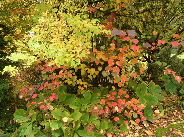 Disanthus cercidifolius looks like a redbud until it turns rainbow colors in fall. The pale yellow-green foliage belongs to Styrax japonicus, the medium green below to Rodgersia.