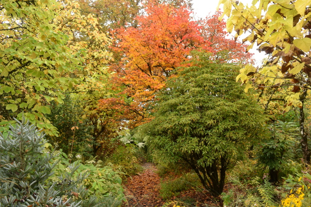 The Gossler Farms Nursery display garden in fall. The beautiful evergreen on the right is wheel tree, Trochodendron aralioides.