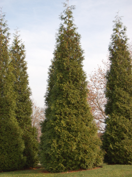 Whipcord Arborvitae The World S Best Gardening Blog