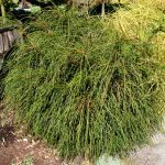 Whipcord Arborvitae: A Cool, Quirky Dwarf Conifer