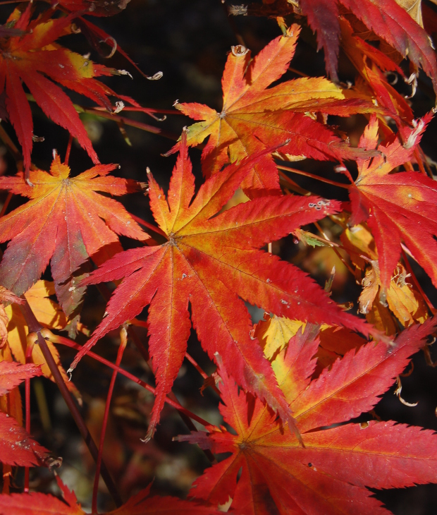 Acer Palmatum Kihachijo Anese Maple Best Fall Color