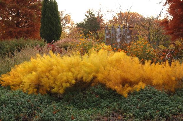Amsonia Hubrictii Bluestar Fall Color Rich Yellow