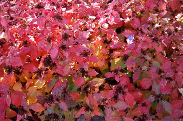 Ceratostigma Plumbaginoides Leadwort Fall Foliage Color